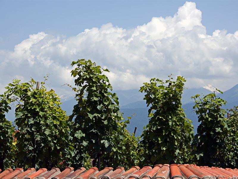 Виноградник в Алаверди