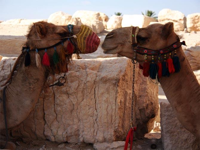 Пальмирские верблюды