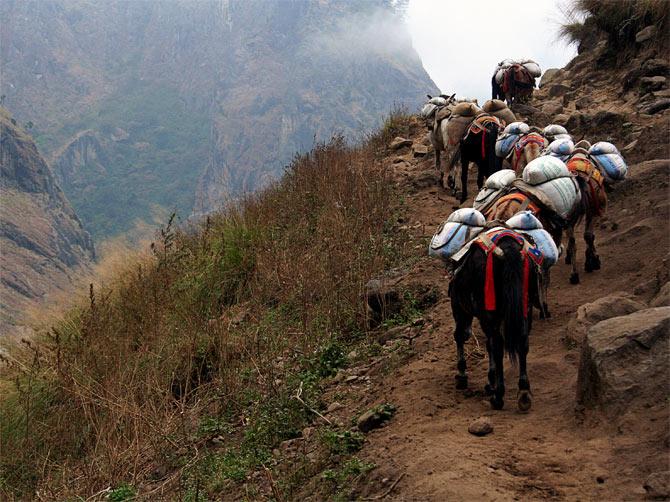 Гималайские мулы