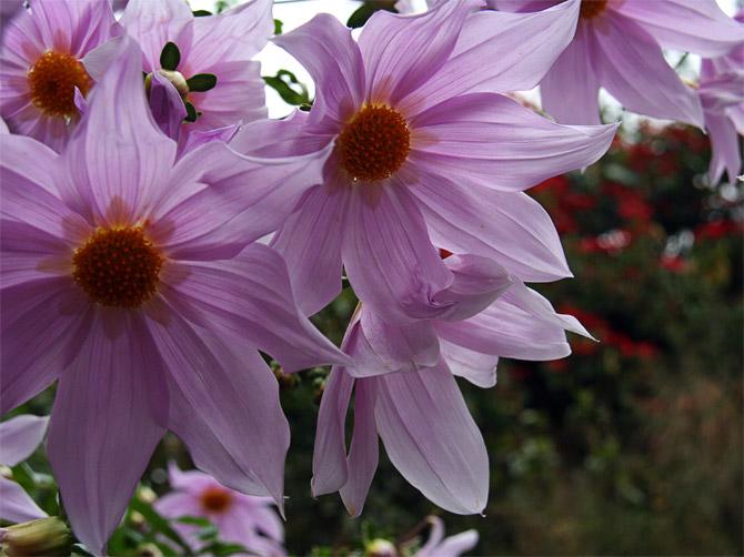 Гималайские цветы