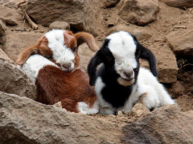 Улыбчивые козлята