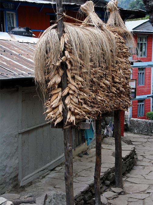 Кукуруза на главной улице Джагата