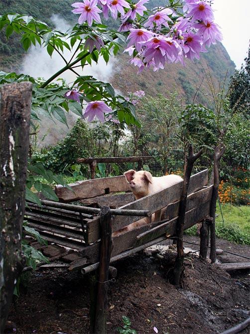 Гималайская свинья