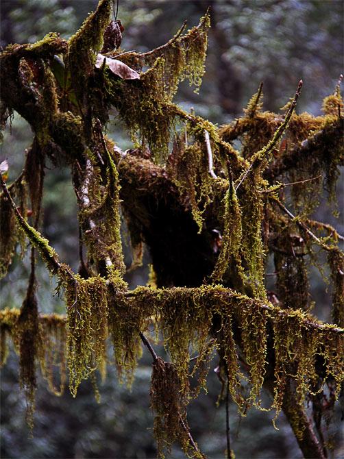 Висячий мох