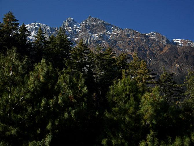 Гималайские сосны