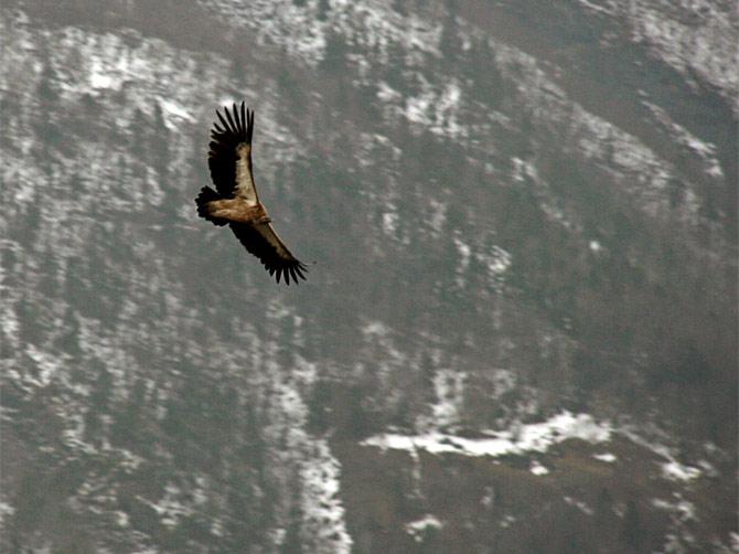 Гималайский гриф