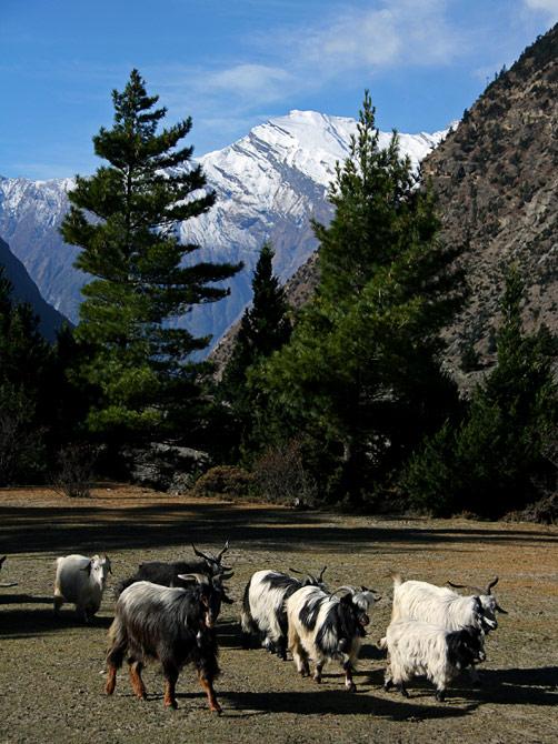 Гималайские козы