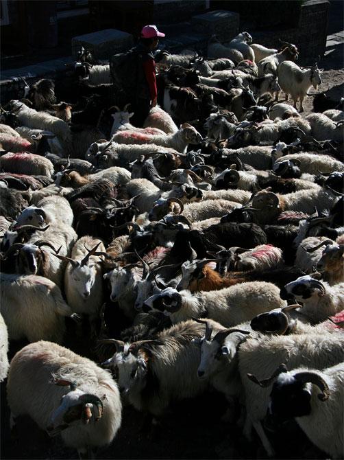 Стадо коз и овец