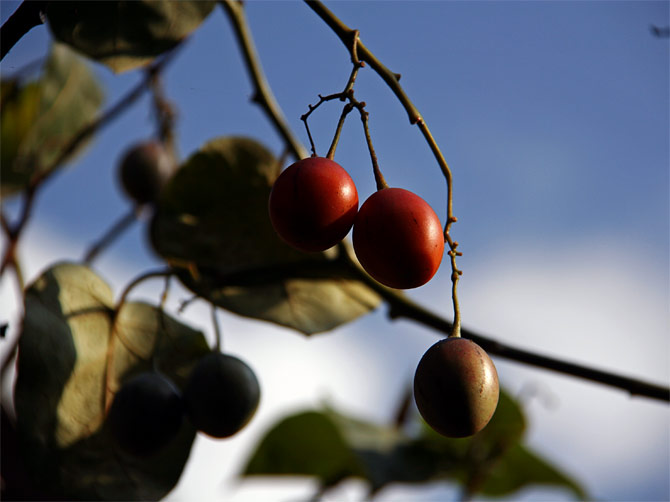 Древесные помидоры