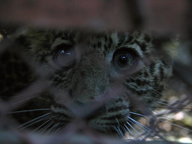 Глаза загнанного леопарда