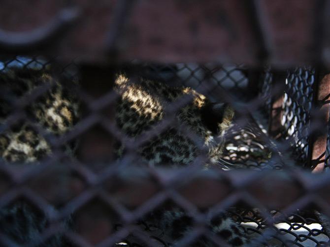 Леопард в клетке, Покхара, Непал