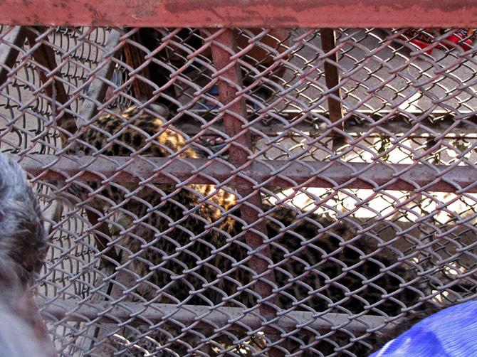 Пойманный в клетку леопард в Покхаре