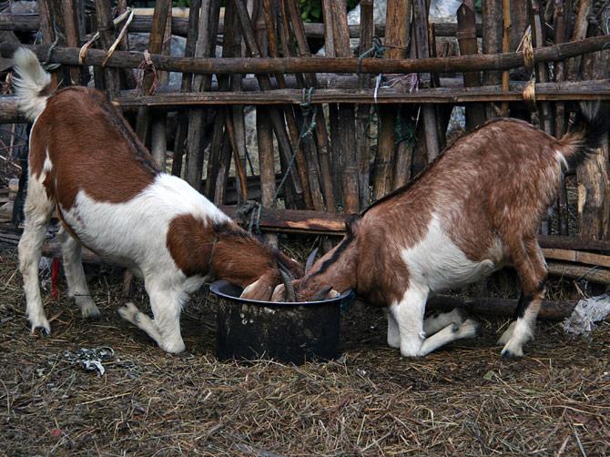 Двое козлов у миски с едой, Непал