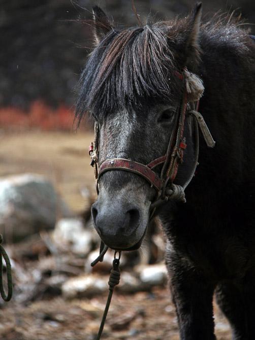 Милая непальская лошадка