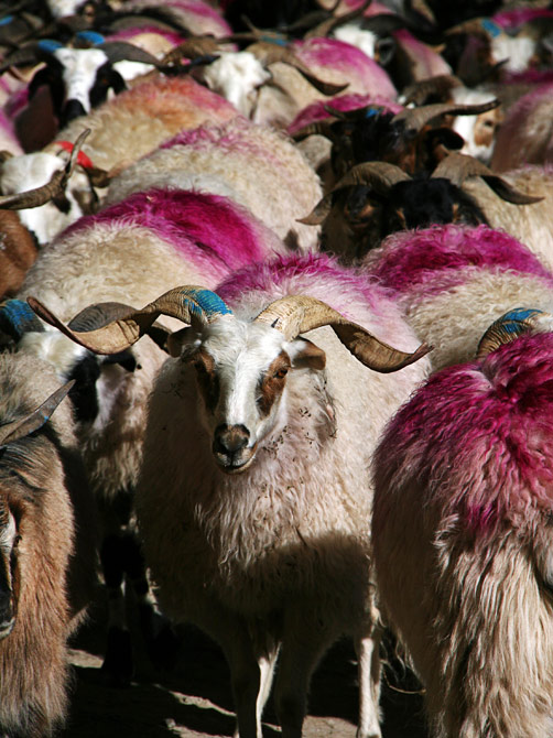 Стадо овец в Непале