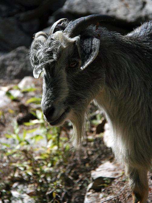 Симпатичный козел, Непал