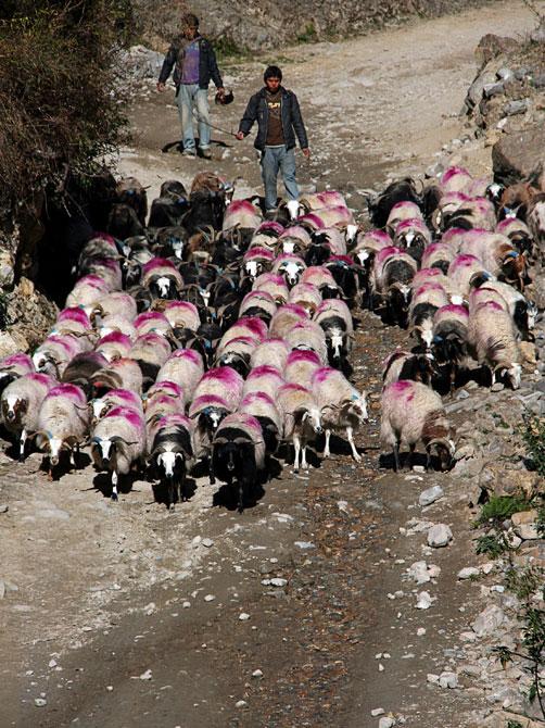 Овцы на дороге к Гази - трек вокруг Аннапурны, Непал, Гималаи