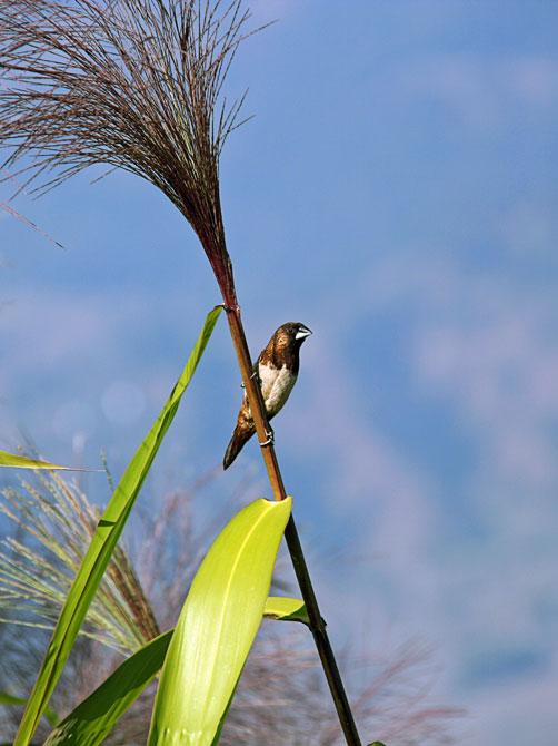 Птичка-невеличка, родом из Непала
