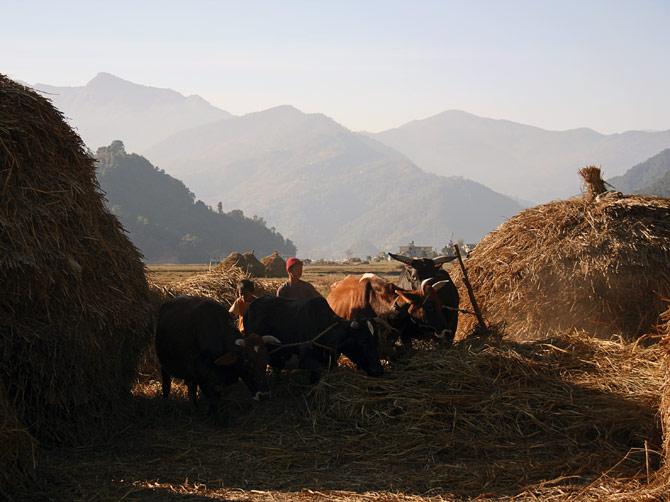 Быки молотят рис на окраине города Покхара в Непале