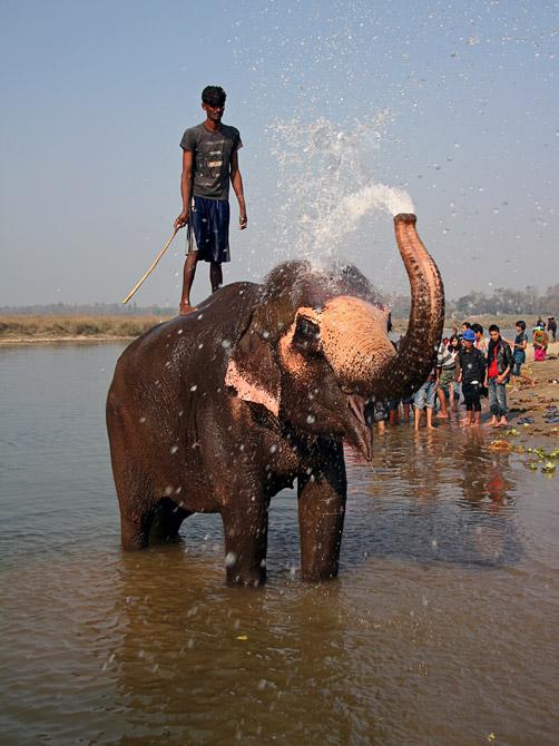 Слон брызгает водой из хобота, заповедник Читван, Непал