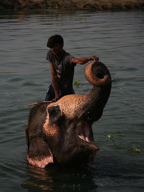 Купающийся слон, заповедник Читван, Непал