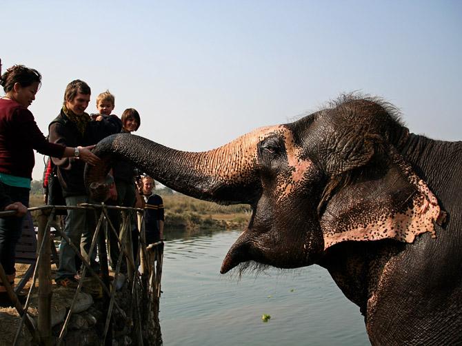 Слон протягивает хобот к туристам, заповедник Читван, Непал