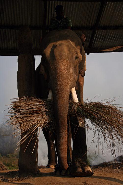 Слон с пучком травы, заповедник Читван, Непал