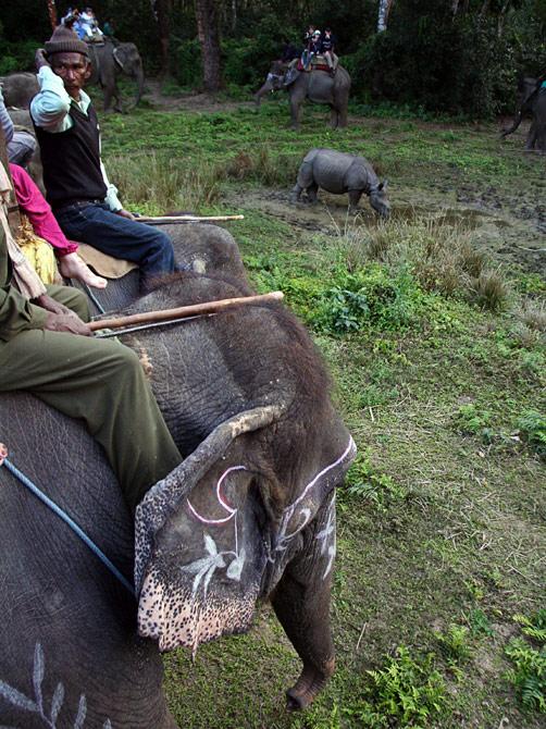 Слоны окружили носорога, заповедник Читван, Непал
