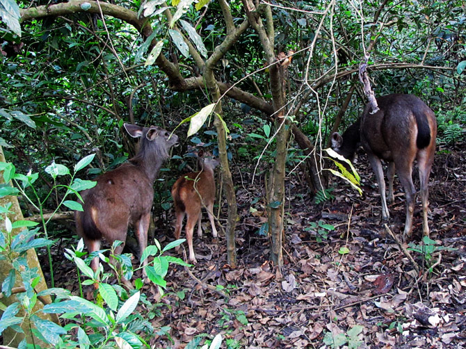 Семейство оленей, заповедник Читван, Непал
