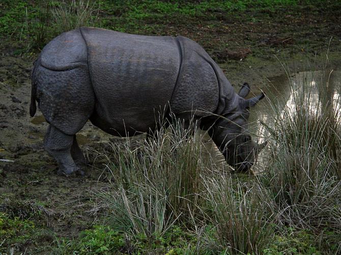 Носорог на водопое, заповедник Читван, Непал