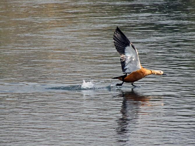 Взлетающая утка, заповедник Читван, Непал