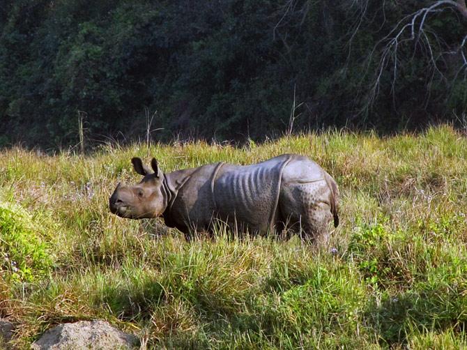 Юный носорог, заповедник Читван, Непал