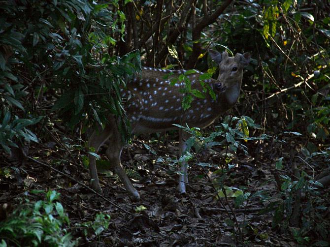 Пятнистый олень, заповедник Читван, Непал