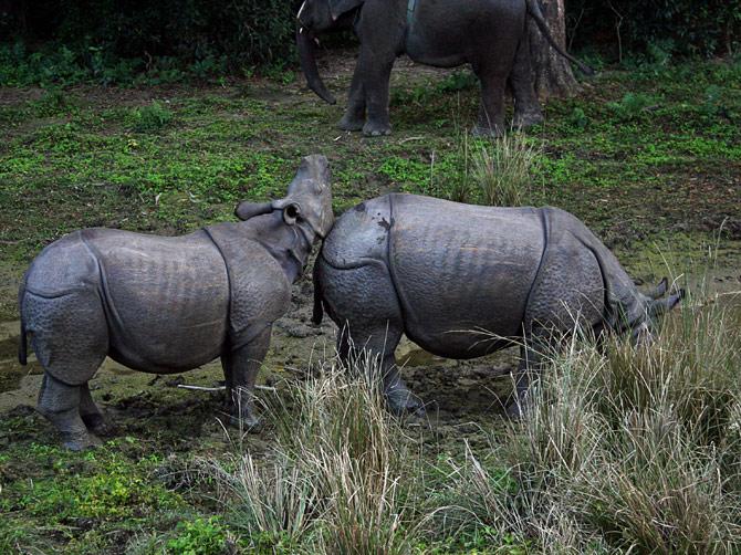 Два носорога, заповедник Читван, Непал