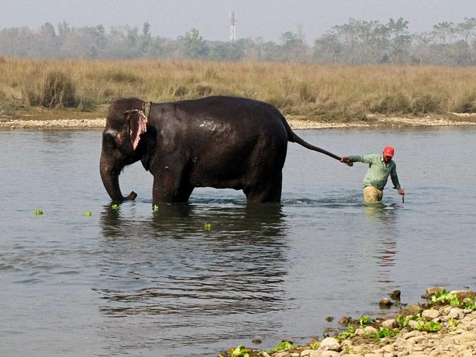 Человек тащит слона за хвост, заповедник Читван, Непал