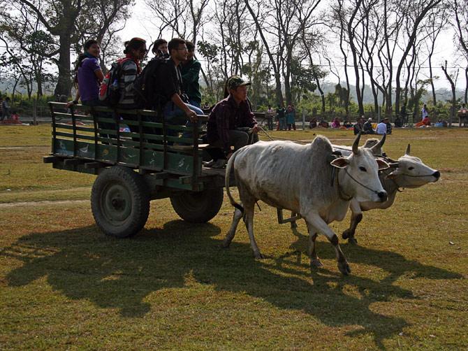 """Бычья упряжка, фестиваль """"Слоновьи бега"""", Читван, Непал"""