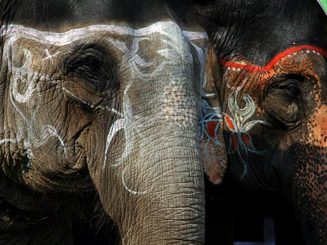 """Слонихи, раскрашенные мелками, фестиваль """"Слоновьи бега"""", Читван, Непал"""