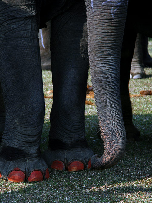 """Слоновий педикюр, фестиваль """"Слоновьи бега"""", Читван, Непал"""