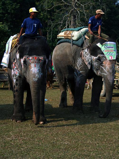 """Слонихи-конкурсантки, фестиваль """"Слоновьи бега"""", Читван, Непал"""