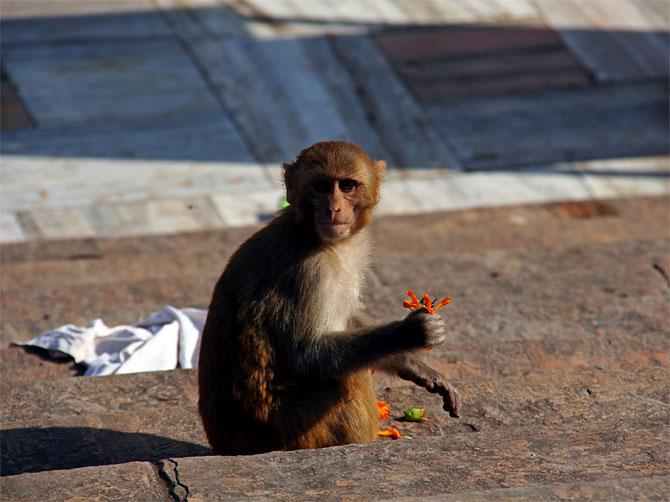 Индийская обезьянка