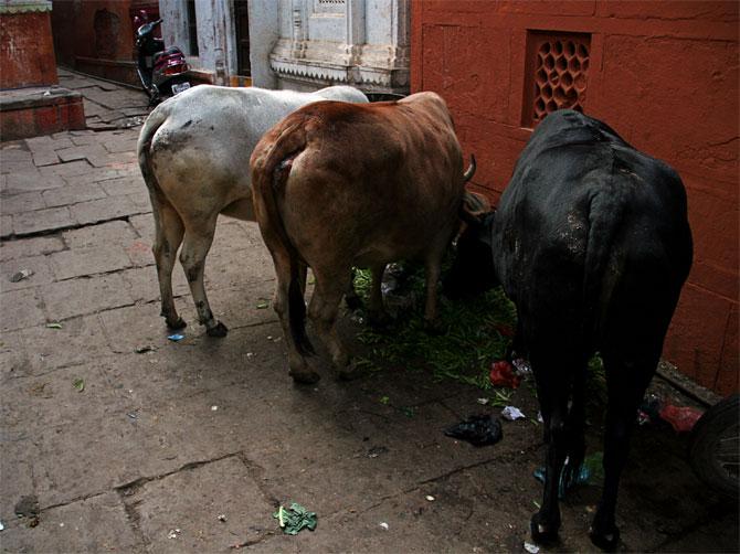Индийские коровы