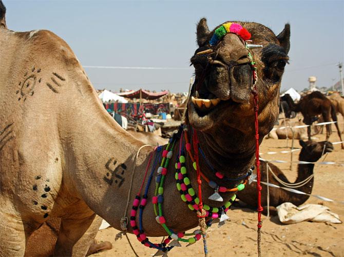 Нарядный верблюд в Пушкаре
