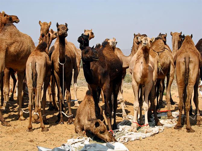 Верблюды на ярмарке в Пушкаре