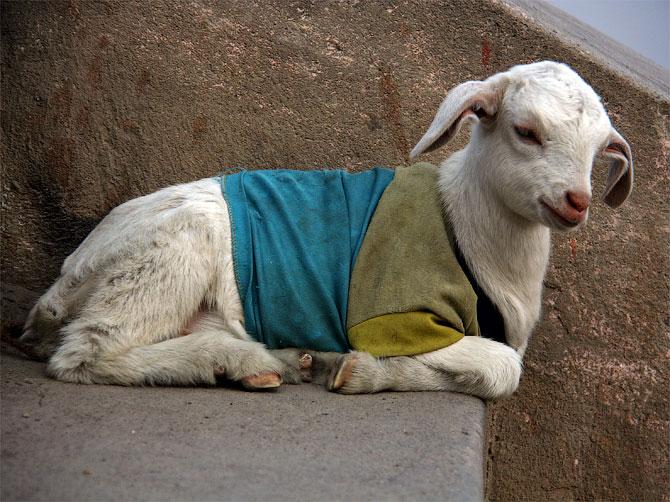 Козленок в майке на гатах в Варанаси, Индия