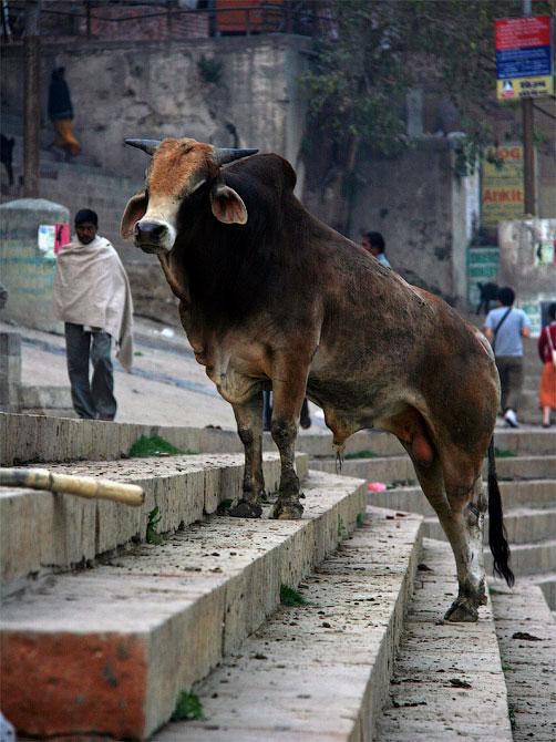 Бычара на гатах в Варанаси, Индия