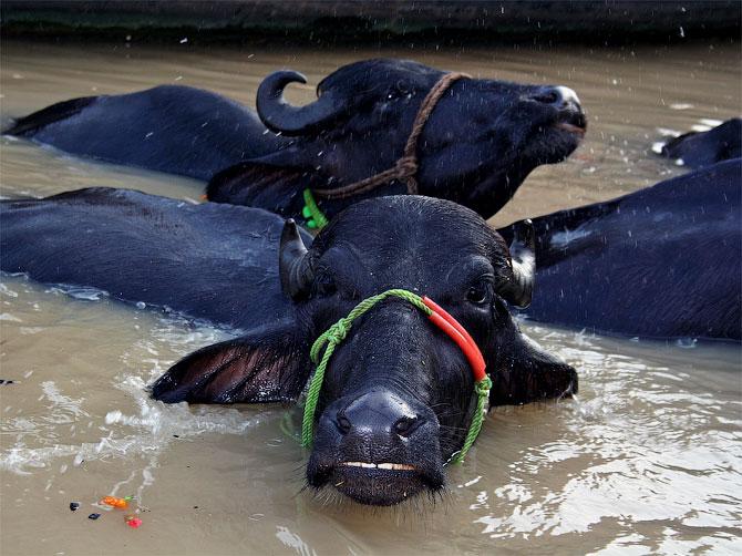 Буйволы в Ганге, Варанаси, Индия