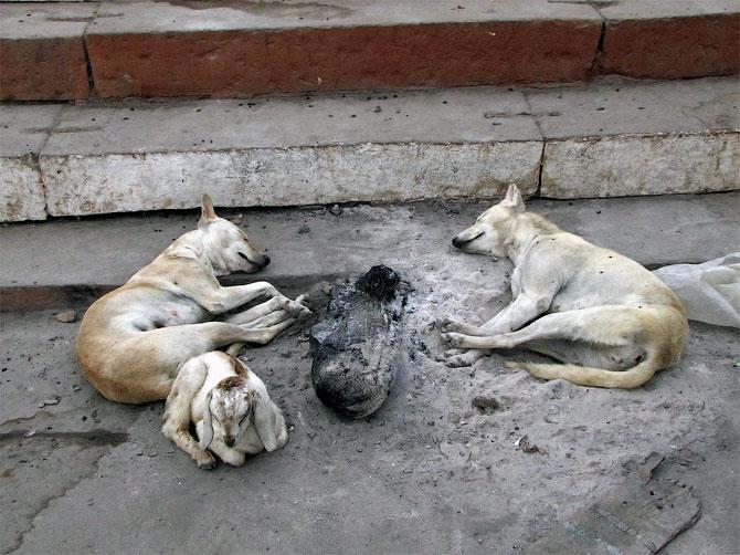 Собаки в пепле, Варанаси, Индия