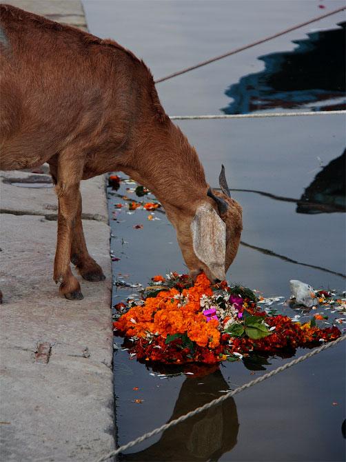 Коза и погребальный венок в Варанаси, Индия