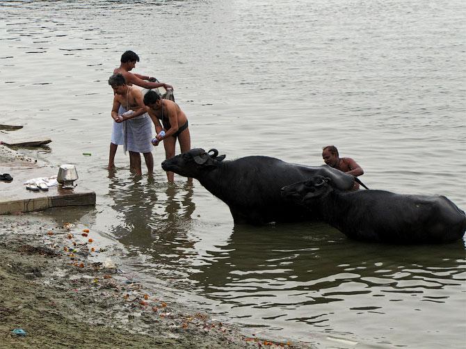 Стирка с буйволами, Варанаси, Индия