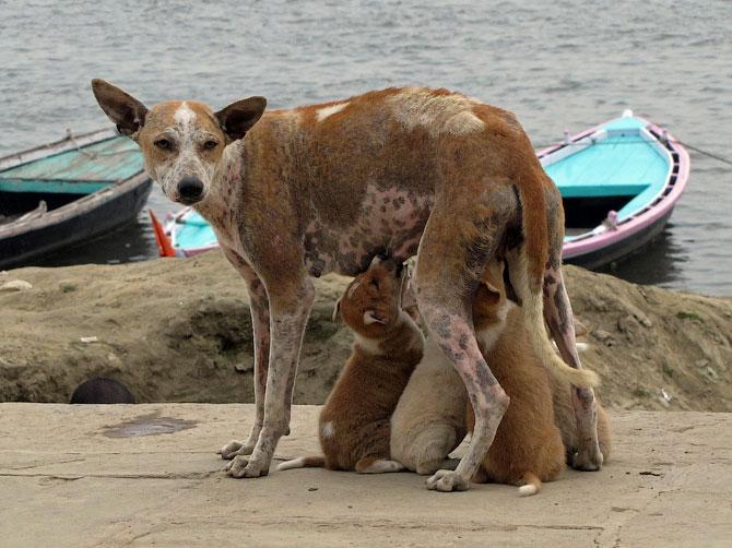 Собака со щенками в Варанаси, Индия